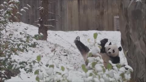 Bei Bei enjoys first snowfall of the season